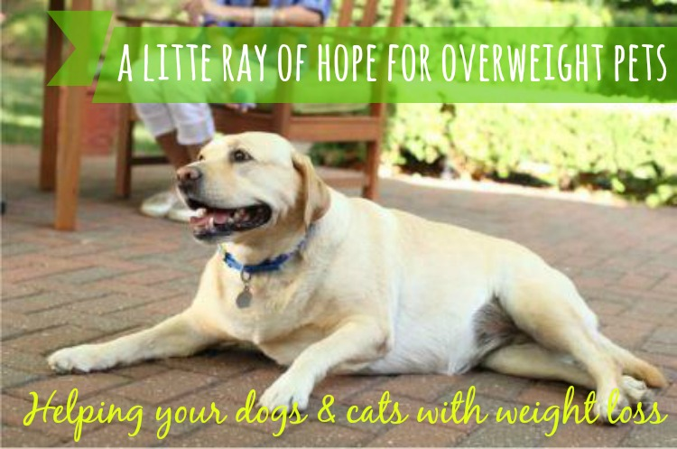 At The Fire Hydrant A Little Ray of Hope for Overweight Pets #Hills Pets